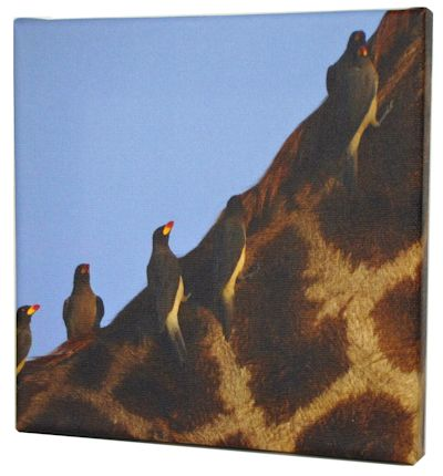 giraffe foto op canvas