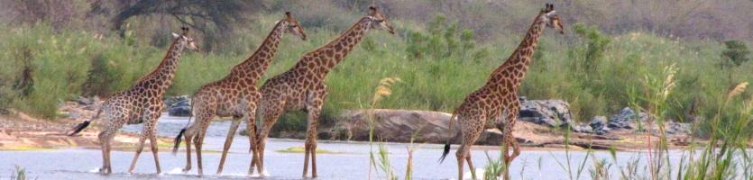 giraffen Krugerpark